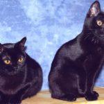 Сколько стоят бомбейские котята?