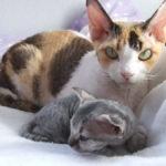 Гипоаллергенные кошки