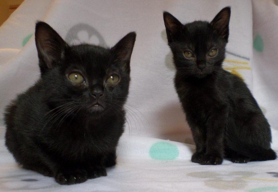бомбейские котята