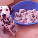 Сколько щенят может родить собака?