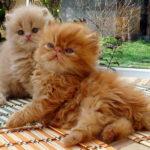 Сколько стоит персидский котенок?