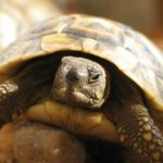 Почему черепаха пищит?