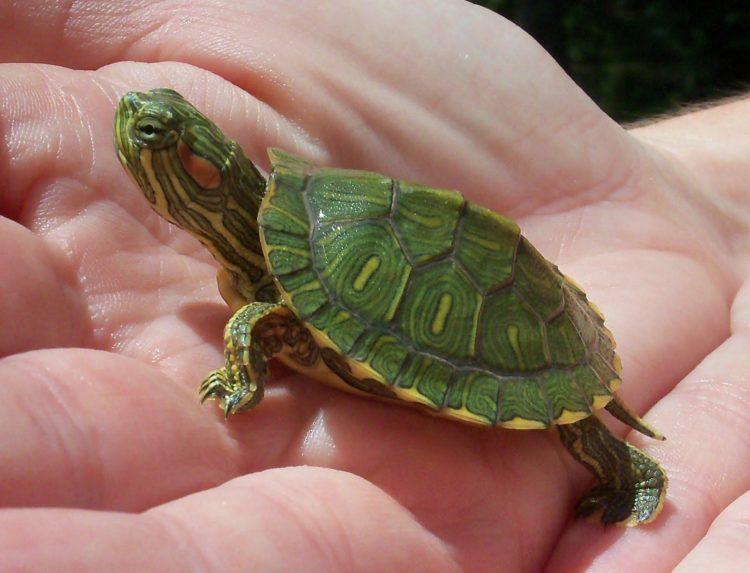 Возможна аллергия на черепах