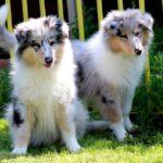 Вес и рост щенка шотландской овчарки (колли) по месяцам