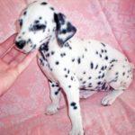 Рост и вес щенка Далматина по месяцам