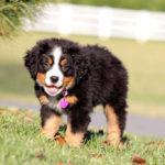 Вес и рост щенка Бернского зенненхунда по месяцам