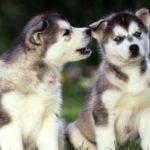 Сколько стоит щенок хаски?