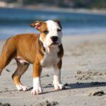 Сколько стоит щенок питбуля?