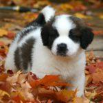 Рост и вес щенка сенбернара по месяцам