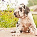 Вес и рост щенка Немецкого дога по месяцам