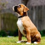 Вес и рост щенка боксера по месяцам