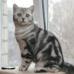 Шотландские коты