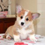 Сколько стоит щенок вельш корги?
