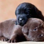Рост и вес щенка Лабрадора по месяцам
