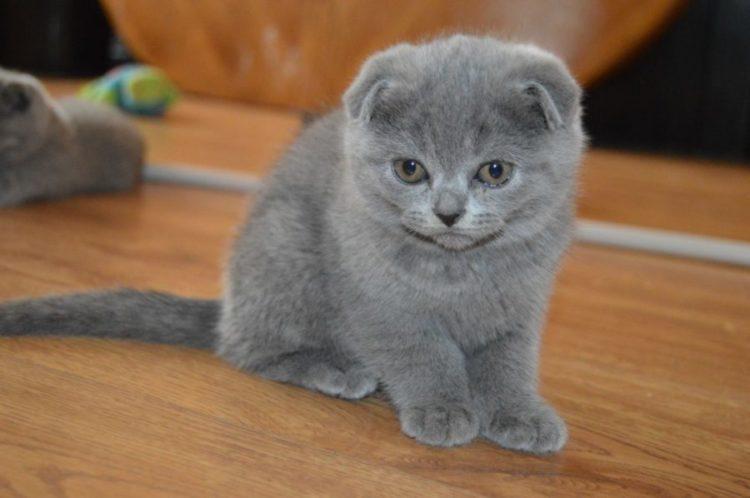 Котенок породы Скоттиш фолд
