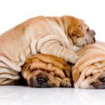 Вес и рост щенка Шарпея по месяцам