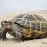 Можно ли давать сухопутным черепахам мясо?
