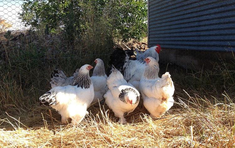 Выращивание кур брама в домашних условиях 56