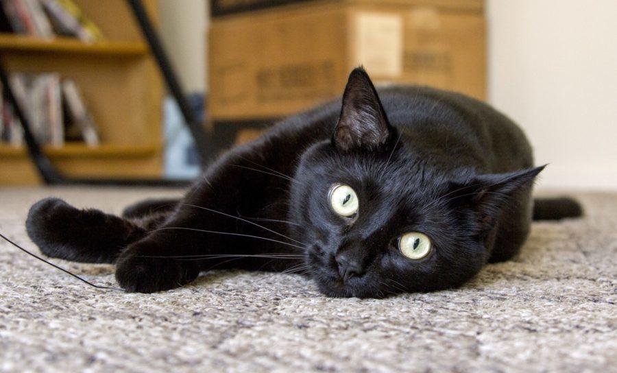 Черная кошка породы бомбейская сколько стоит