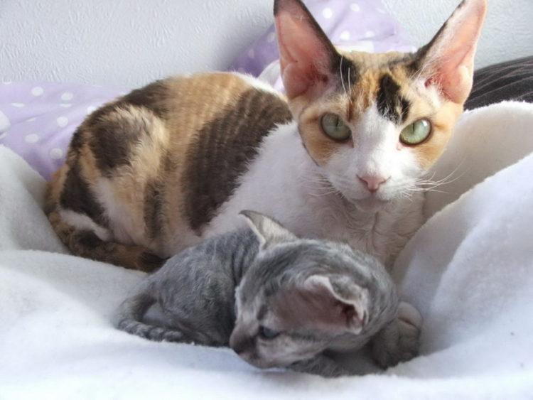 Гипоаллергенный кот который подойдет аллергикам Существуют ли гипоаллергенные коты