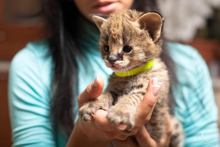 Самые редкие и уникальные породы кошек