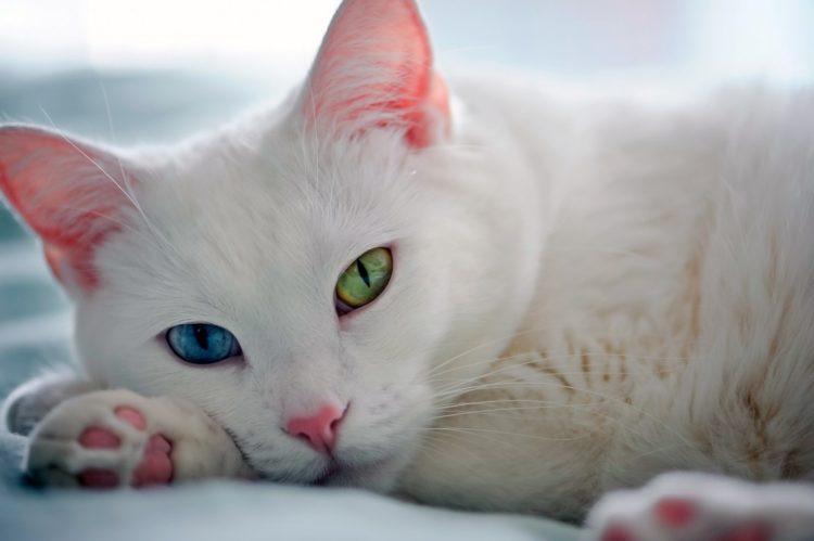Описание тайской кошки као мани