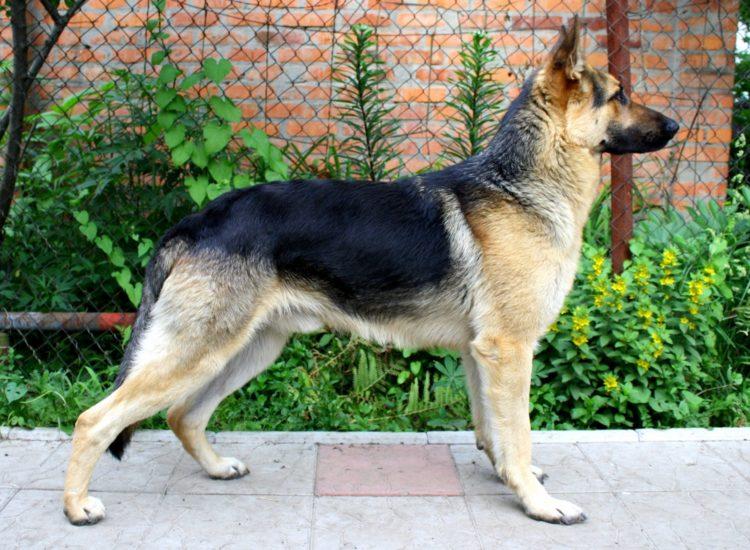 Восточно-европейская овчарка (ВЕО): характеристика породы, описание и фото
