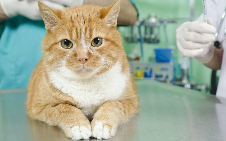 В каком возрасте нужно проводить кастрацию кота
