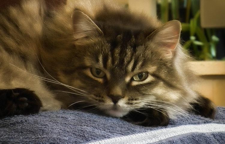 Коронавирус у кошек и котов