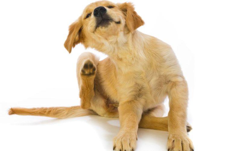 Блохи у собак: причины и признаки появления, методы лечения 1