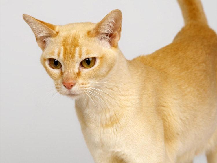 Цейлонская кошка (19 фото): описание породы и особенности содержания