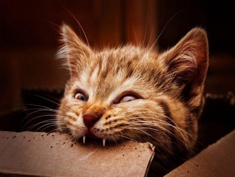 Смена зубов у котят: как происходит и когда, особенности ухода