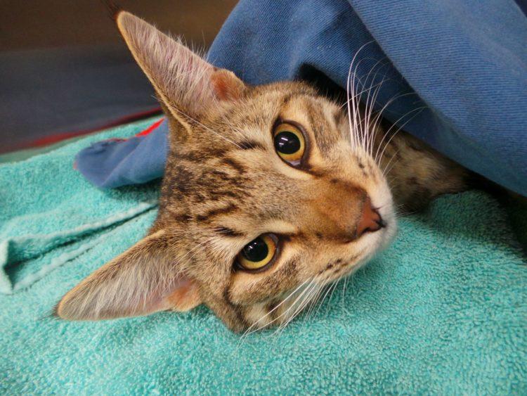 Можно ли кастрировать взрослого кота и до какого возраста